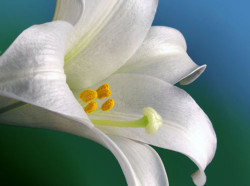 easter lily, directed retreat