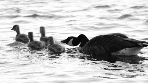 mothers day, geese